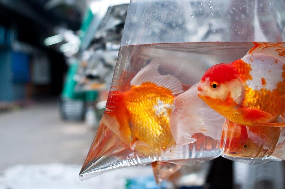 Перевозка аквариумных рыбок самолетом